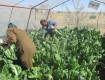 Vegetable tunnels : Projects 1 - 6