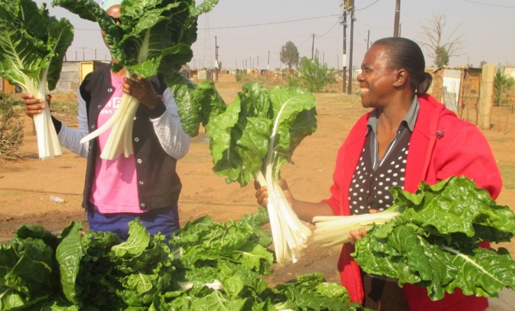 Bountiful crops from township tunnels are delivered weekly
