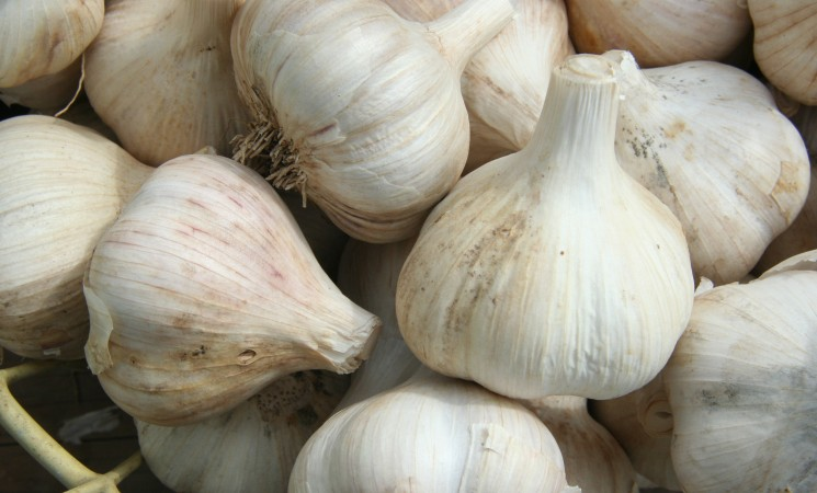 Garlic harvests