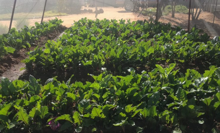 Vegetable crops flourishing in the township
